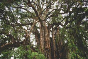 Massive Tule Tree